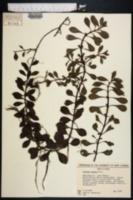 Ludwigia repens image