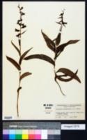 Epipactis helleborine image
