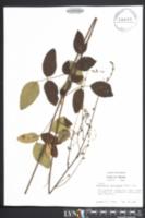Image of Desmodium laevigatum