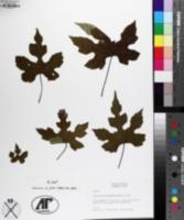 Ampelopsis tricuspidata image