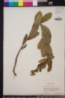 Aster reticulatus image