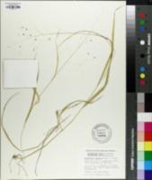 Image of Diarrhena japonica