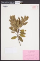 Pieris floribunda image