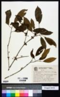 Image of Chrysophyllum viride