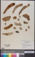 Image of Oxalis tuberosa