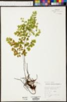 Adiantum capillus-veneris image