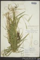 Muhlenbergia tenuiflora image