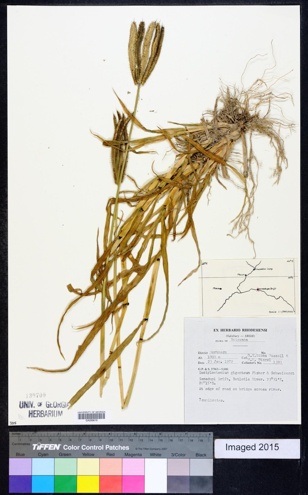 Dactyloctenium giganteum image