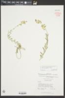 Aurinia saxatilis image