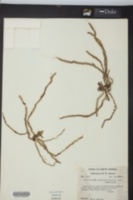 Campylocentrum pachyrrhizum image