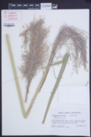 Saccharum officinarum image