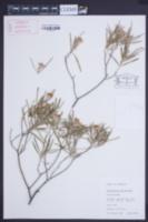 Image of Ricinocarpos gloria-medii