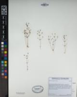 Erythranthe exigua image