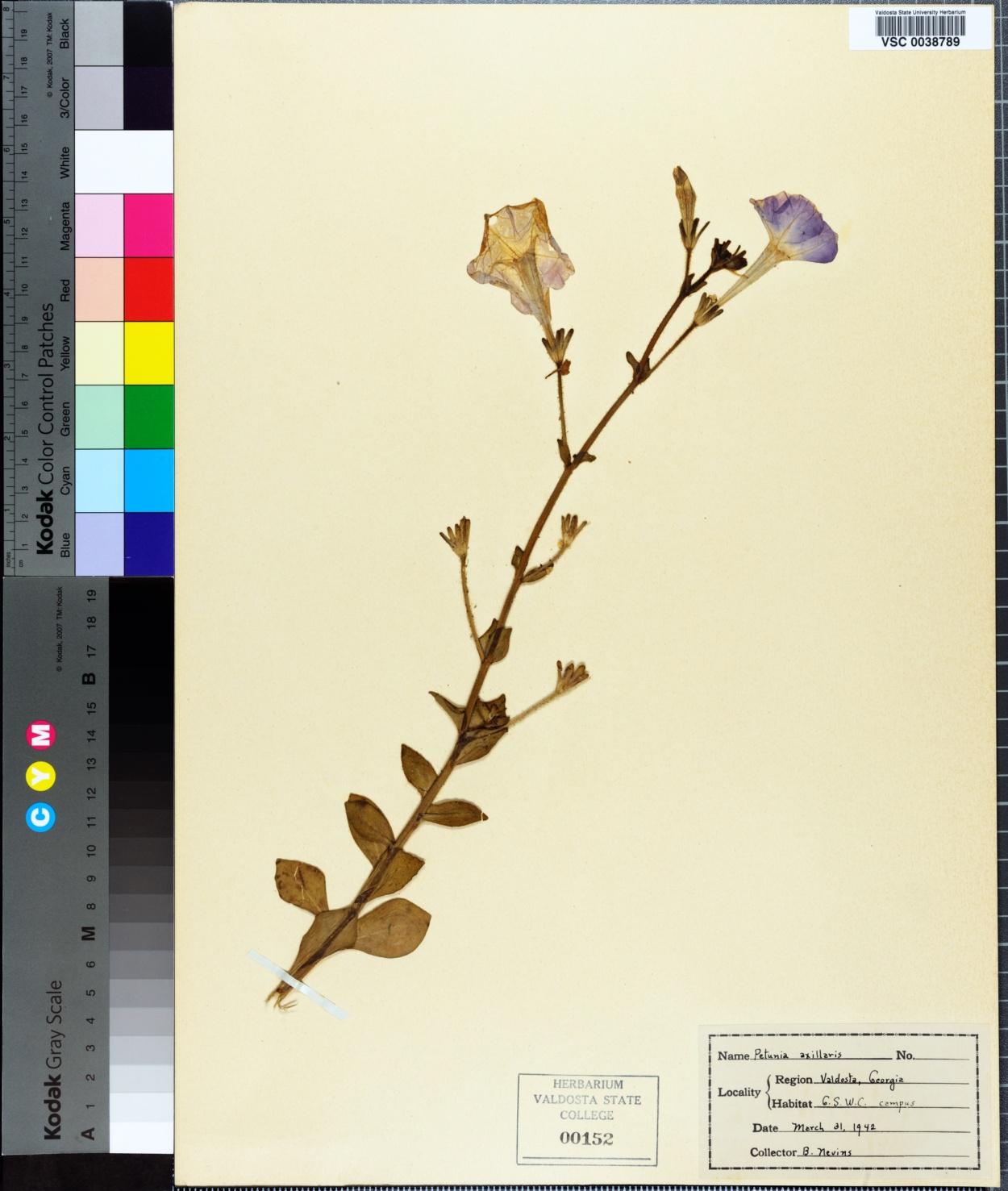 Petunia axillaris image