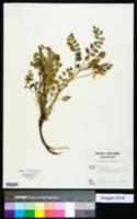 Astragalus beckwithii image