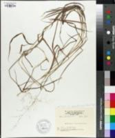 Image of Andropogon violascens