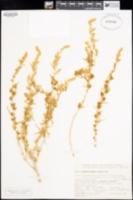 Krascheninnikovia lanata image