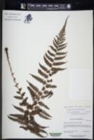 Amauropelta heteroclita image