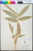 Image of Bambusa bambos