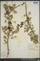 Image of Ribes longiflorum