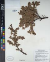 Arctostaphylos hookeri subsp. hearstiorum image