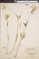 Phlox divaricata var. laphamii image