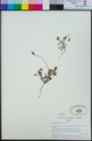 Viola pedunculata image