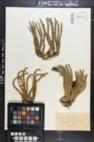 Image of Lycopodium chinense