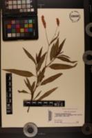 Persicaria bicornis image