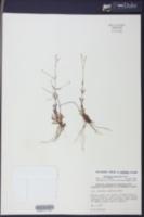 Lindernia monticola image