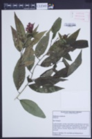 Hoffmannia orizabensis image