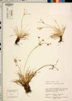 Image of Fimbristylis pycnocephala
