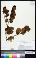 Chrysobalanus icaco image