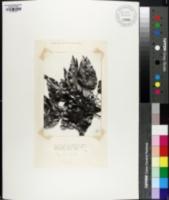 Quercus affinis image