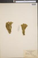 Lycopodium selago image