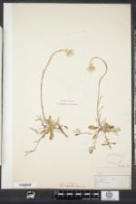 Antennaria howellii image