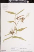 Image of Dichanthelium polyanthes