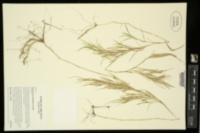 Muhlenbergia glabrifloris image