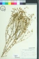 Image of Sabatia brevifolia
