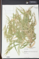 Image of Panicum ramosum