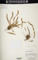 Image of Alansmia heteromorpha