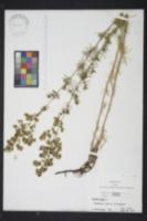 Image of Galium cryptanthum