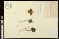 Image of Pinguicula primuliflora