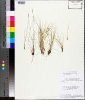 Image of Rhynchospora emaciata