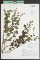 Baptisia X microphylla image