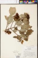 Cornus drummondii image