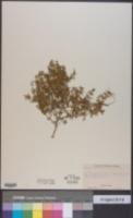 Leucospora multifida image