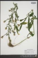 Symphyotrichum retroflexum image