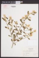 Baccharis glomeruliflora image