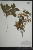 Rhododendron oblongifolium image